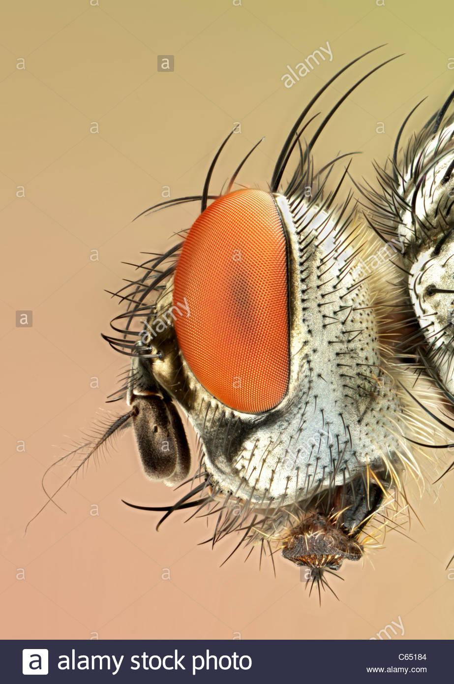 Carne-fly (Scatophaga sp.), cerca de la cabeza. Imagen De Stock