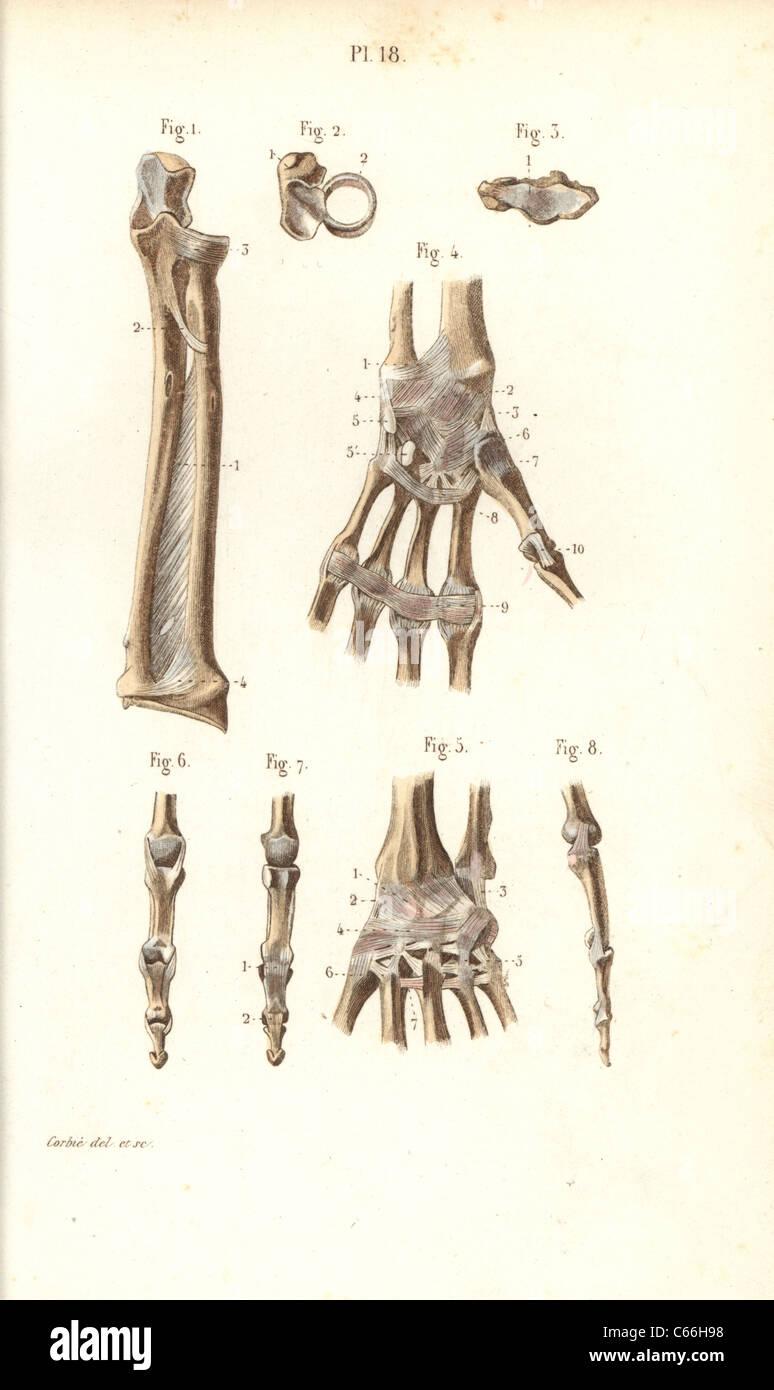 El antebrazo, muñeca y dedos de los huesos Foto & Imagen De Stock ...