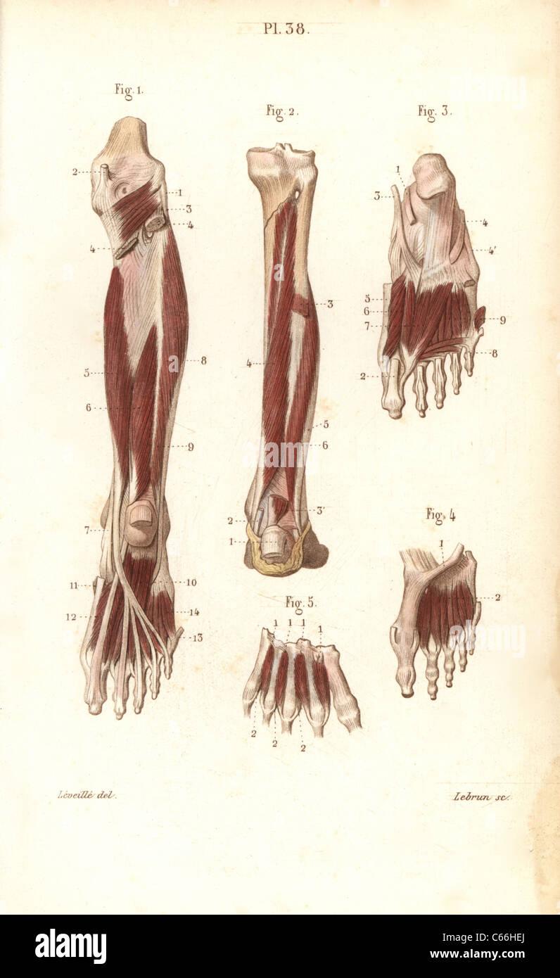 Los músculos y los tendones de la pierna y el pie Foto & Imagen De ...