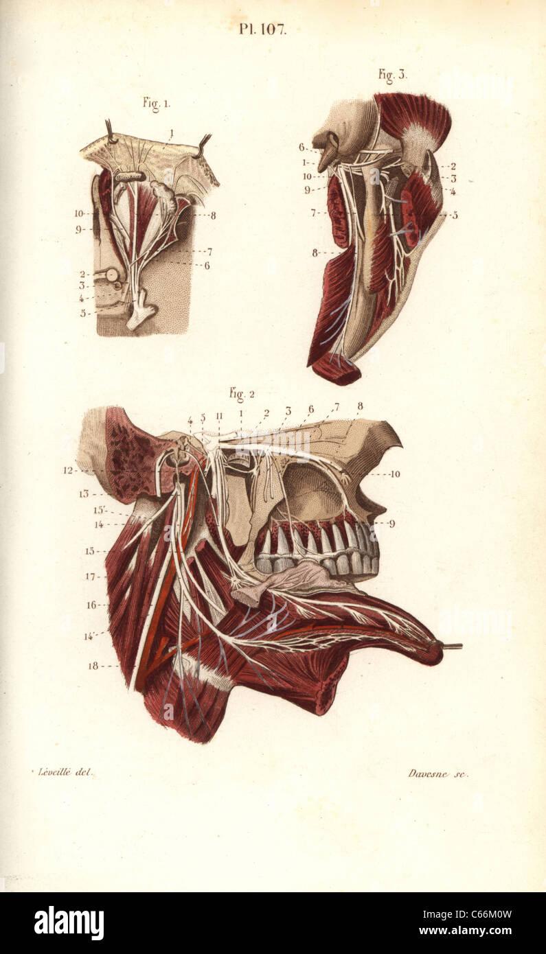 Oftálmica y maxilar nervios en el quinto nervio craneal Foto ...