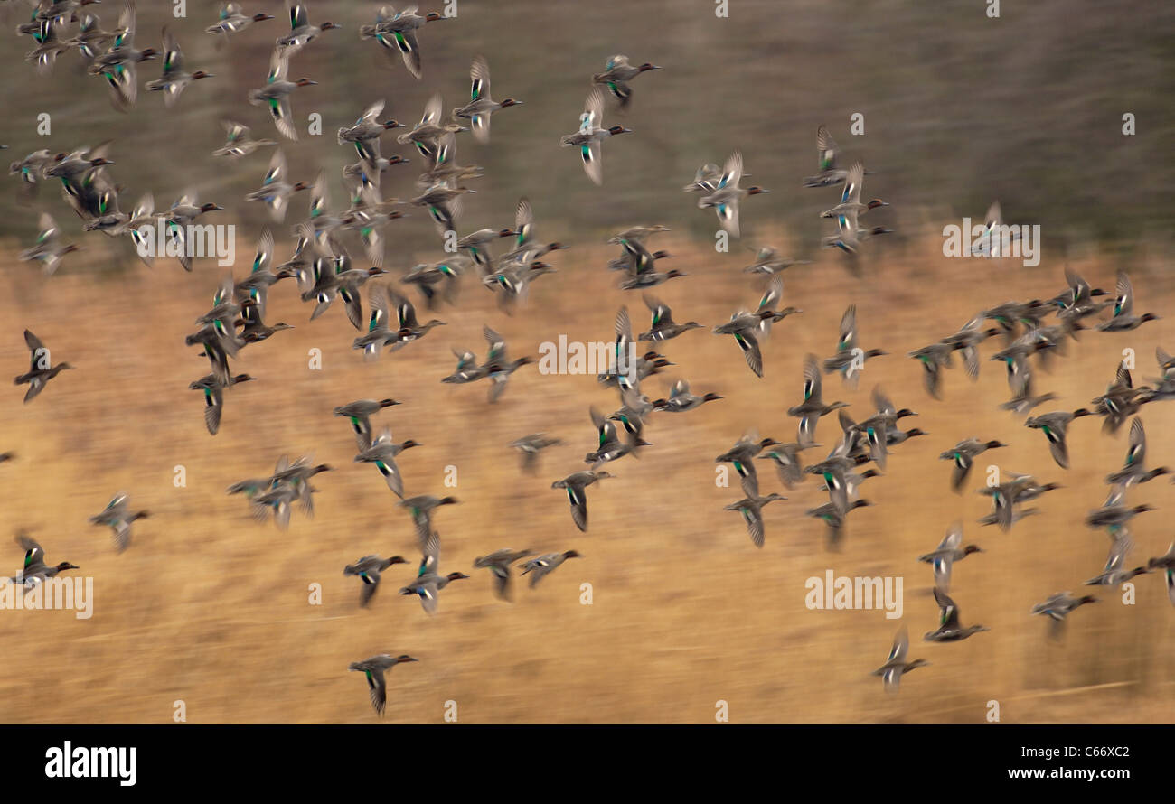 Anas crecca una bandada de teal en vuelo (borrosa para ilustrar el movimiento) de Yorkshire, Reino Unido Foto de stock