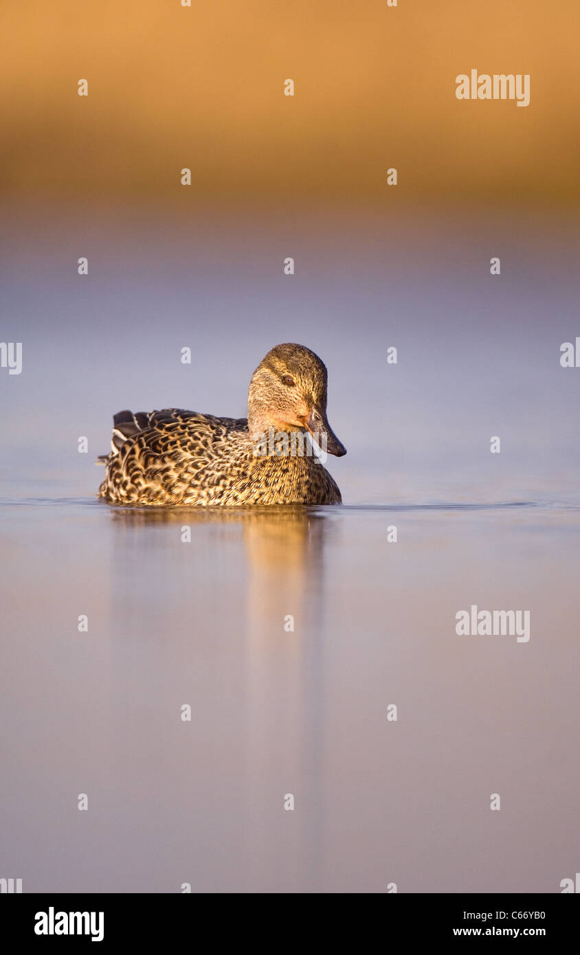 Anas crecca retrato de una mujer adulta en una tranquila laguna costera. Norfolk, Reino Unido. Fotógrafo.Andrew Foto de stock