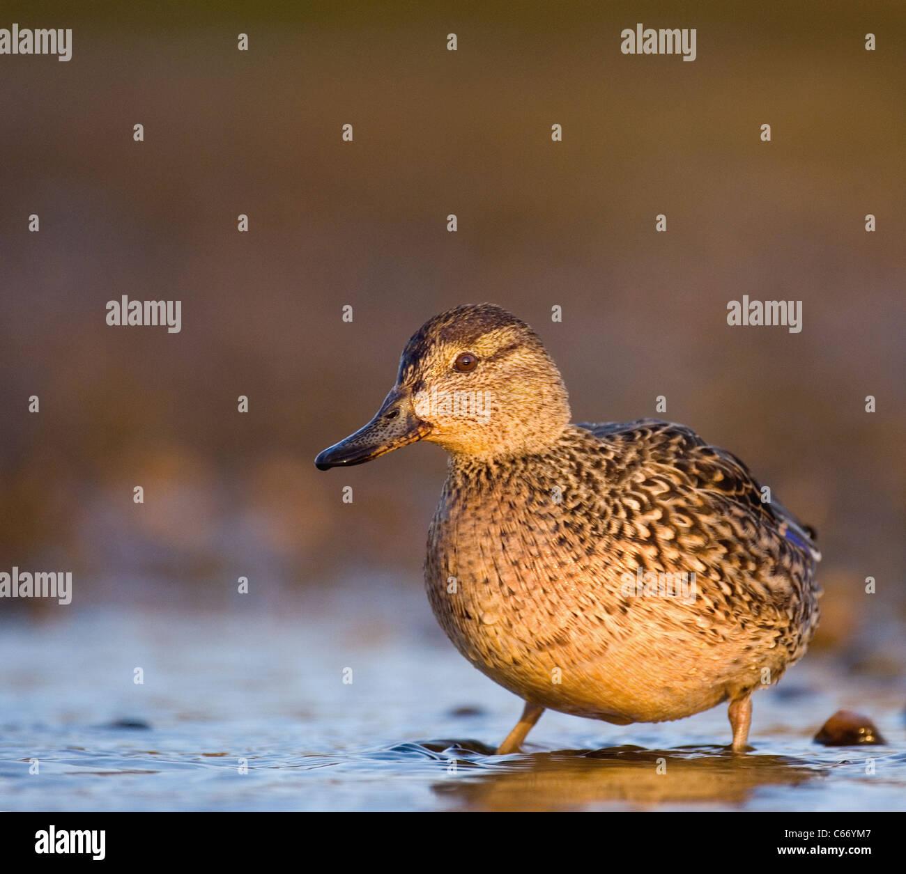 Anas crecca Perfil de una mujer adulta en los márgenes de una laguna de marea superficial. Norfolk, Reino Unido. Foto de stock