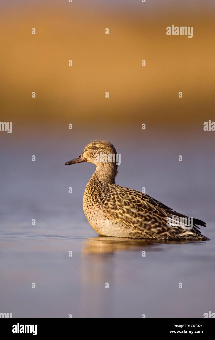 Anas crecca Perfil de una hembra adulta de alerta en golden la luz de la mañana. Norfolk, Reino Unido. Fotógrafo.Andrew Foto de stock
