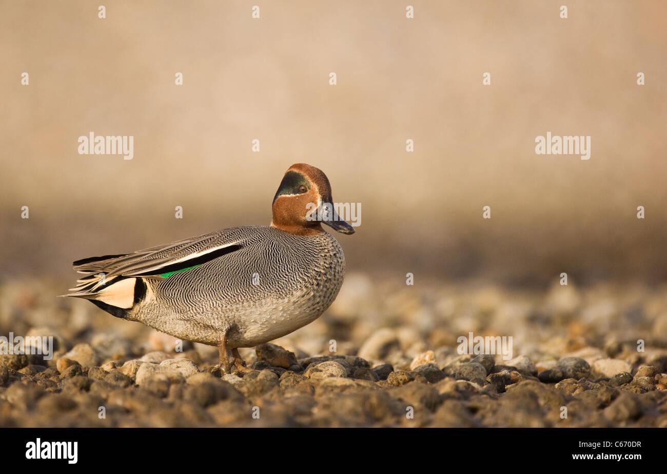 Anas crecca Perfil de un macho adulto en una plaqueta costa. Norfolk, Reino Unido. Fotógrafo.Andrew Parkinson Foto de stock