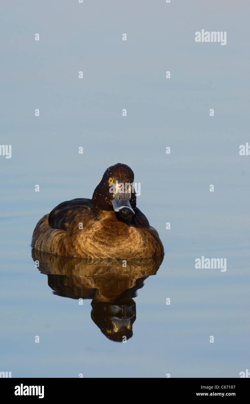 TUFTED DUCK Aythya fuligula una hembra adulta en un lago tranquilo. Febrero. Nottinghamshire, el fotógrafo británico.Andrew Foto de stock