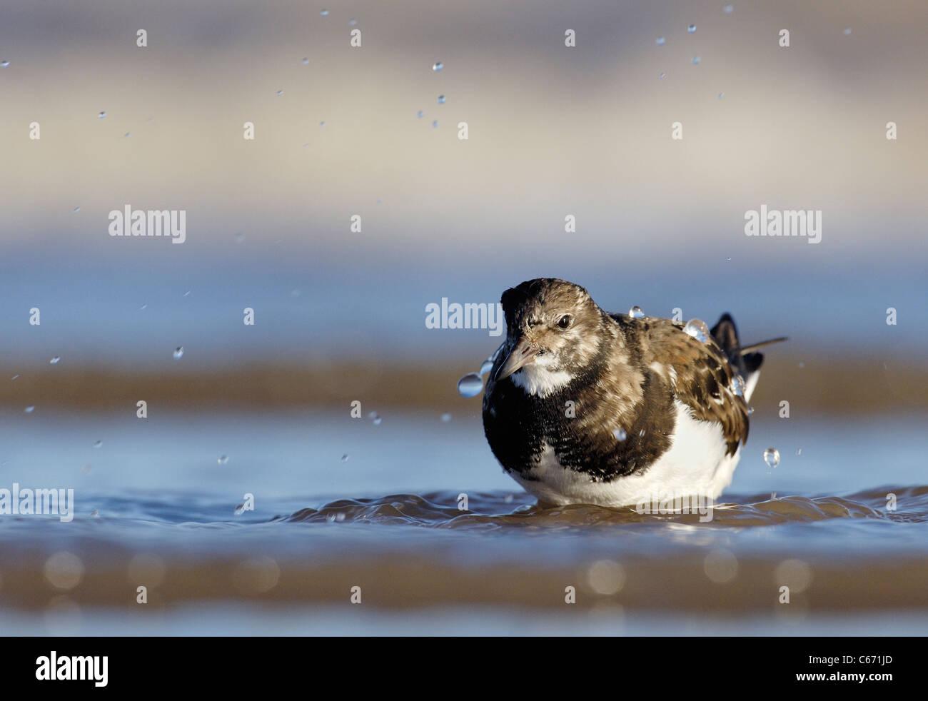 Arenaria interpres TURNSTONE retrato de un adulto en aguas costeras poco profundas. De enero. Lincolnshire, el fotógrafo Foto de stock
