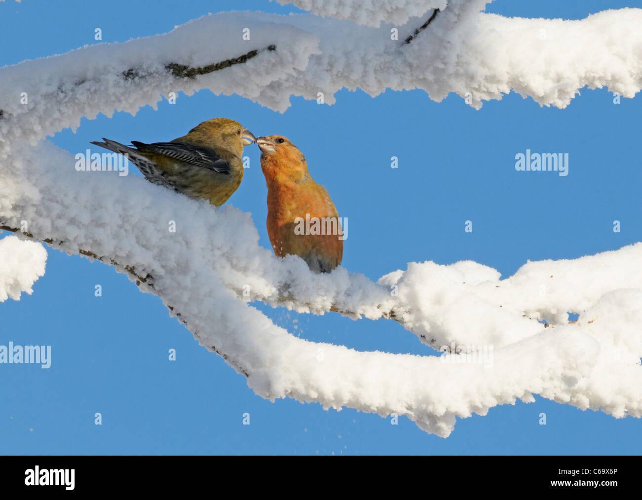 Común, Rojo Crossbill Crossbill (Loxia curvirostra). Tierna pareja encaramado sobre una ramita nevados. Imagen De Stock