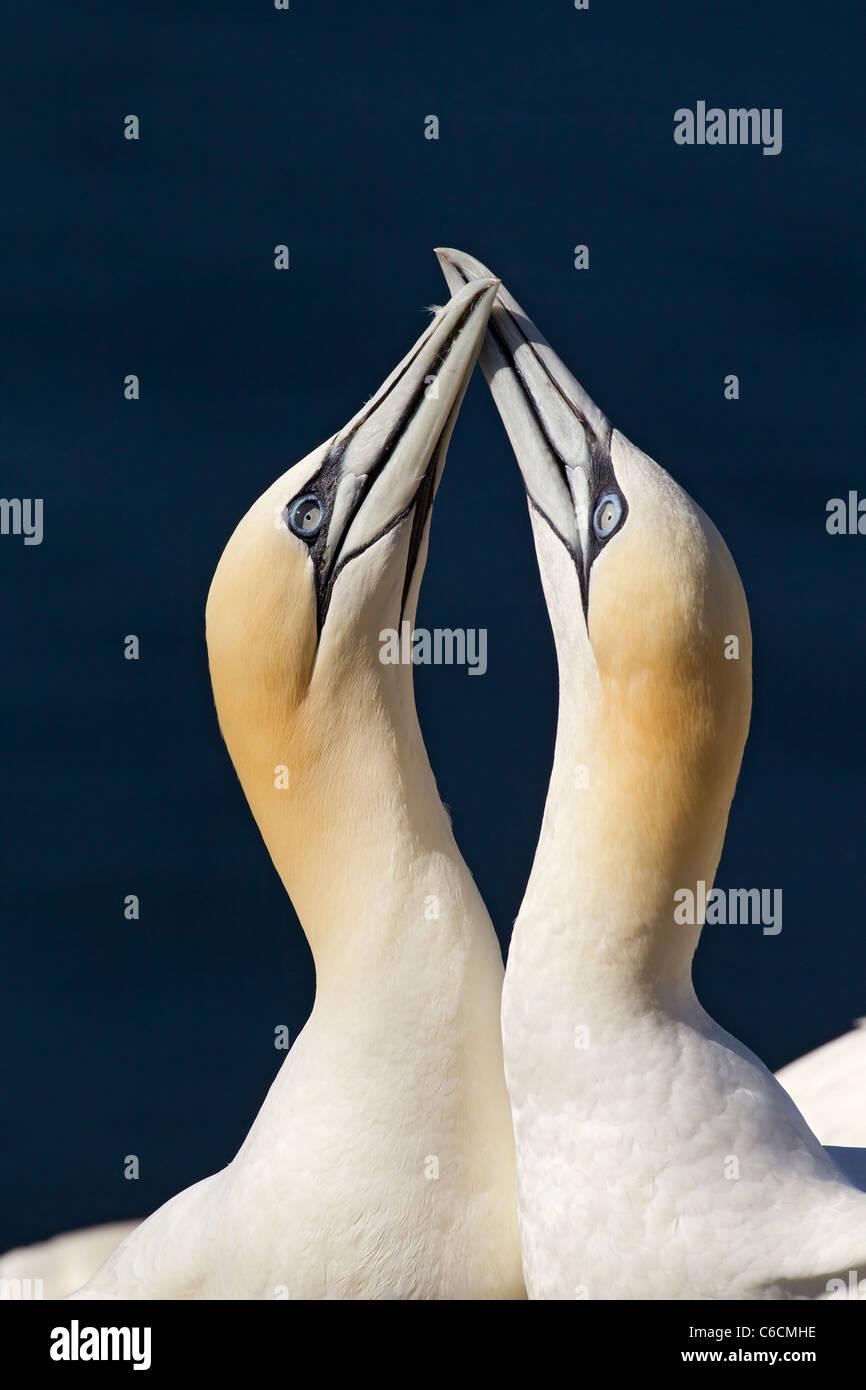 Norte de alcatraces (Morus bassanus) dos adultos en el nido en el cortejo pantalla, apuntando hacia el cielo, Bass Foto de stock