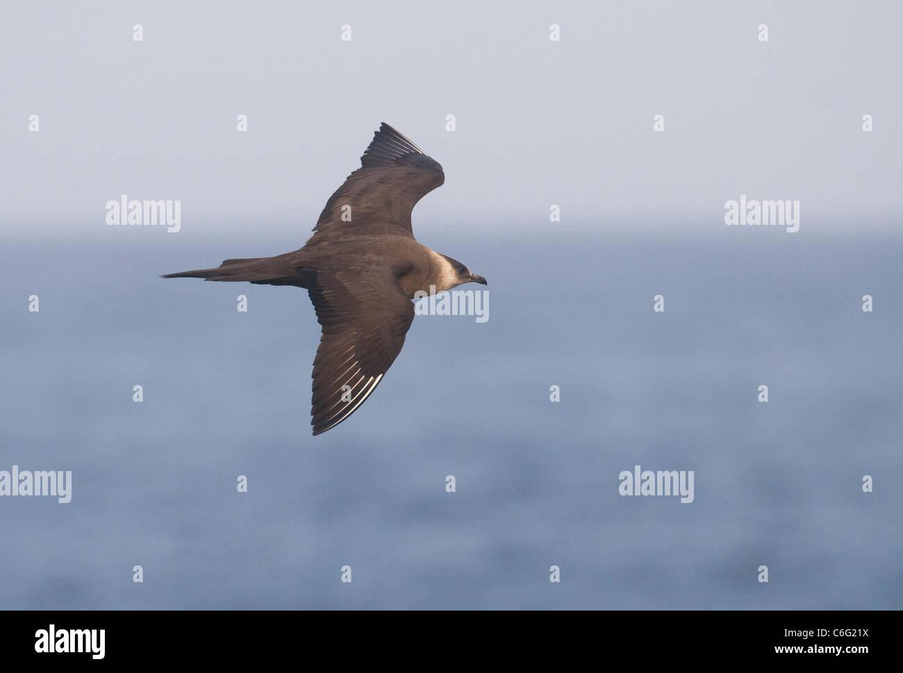 Arctic skúas Stercorarius parasiticus adulto en vuelo. Julio. Las Islas Shetland, Escocia, el fotógrafo británico.Andrew Foto de stock