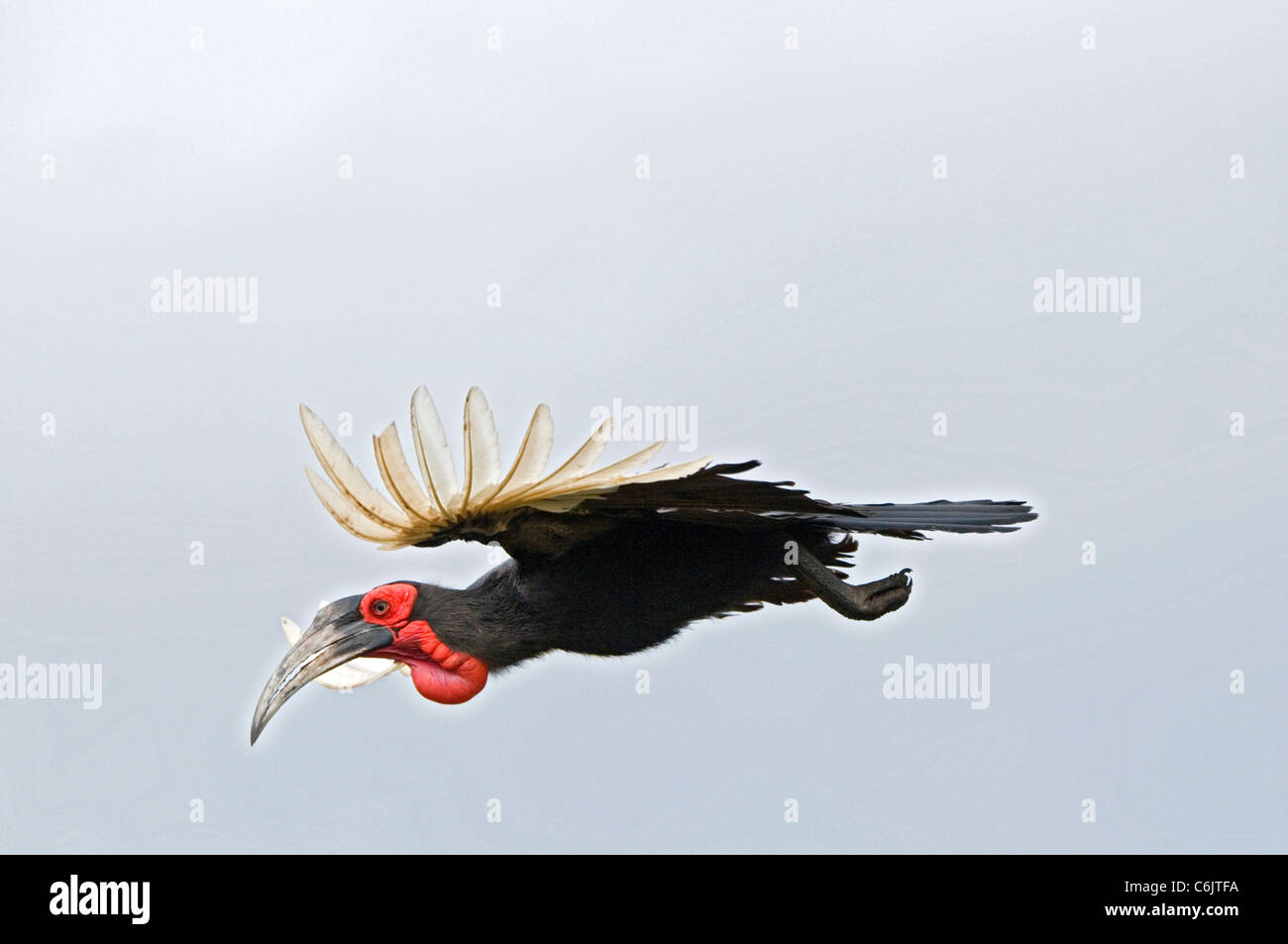 Bucero tierra austral en vuelo. Foto de stock