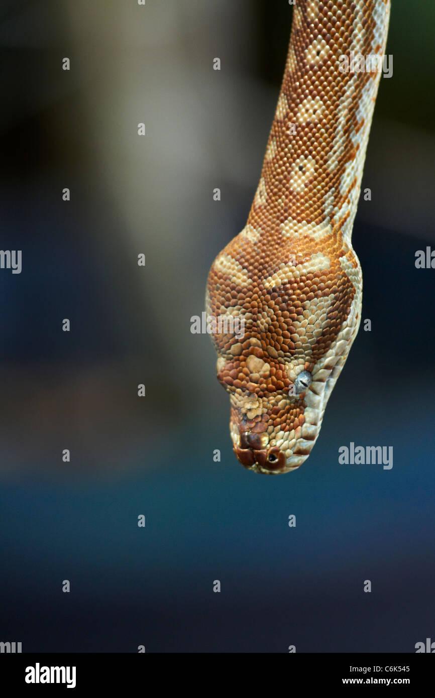 Python, Adelaide River, el Territorio del Norte, Australia Imagen De Stock