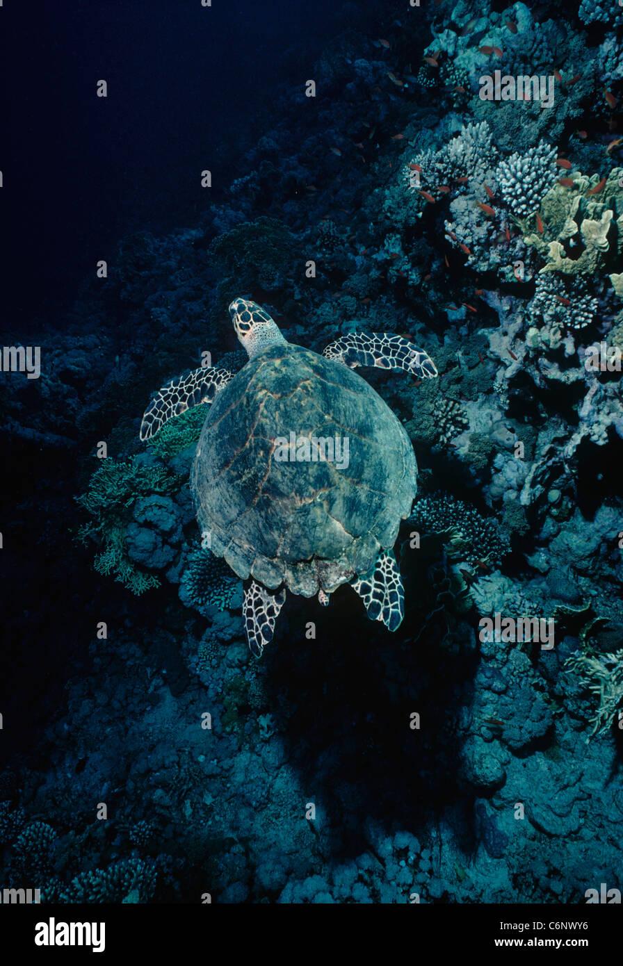 La tortuga carey (Eretmochelys imbricata) nadando en un arrecife de coral. Egipto, el Mar Rojo. Imagen De Stock