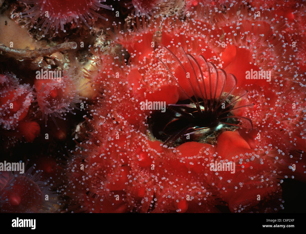 Percebe (bellota gigante Balanus nubilis) y Club de punta anémona de alimentación del filtro. California, EE.UU., el Océano Pacífico Foto de stock
