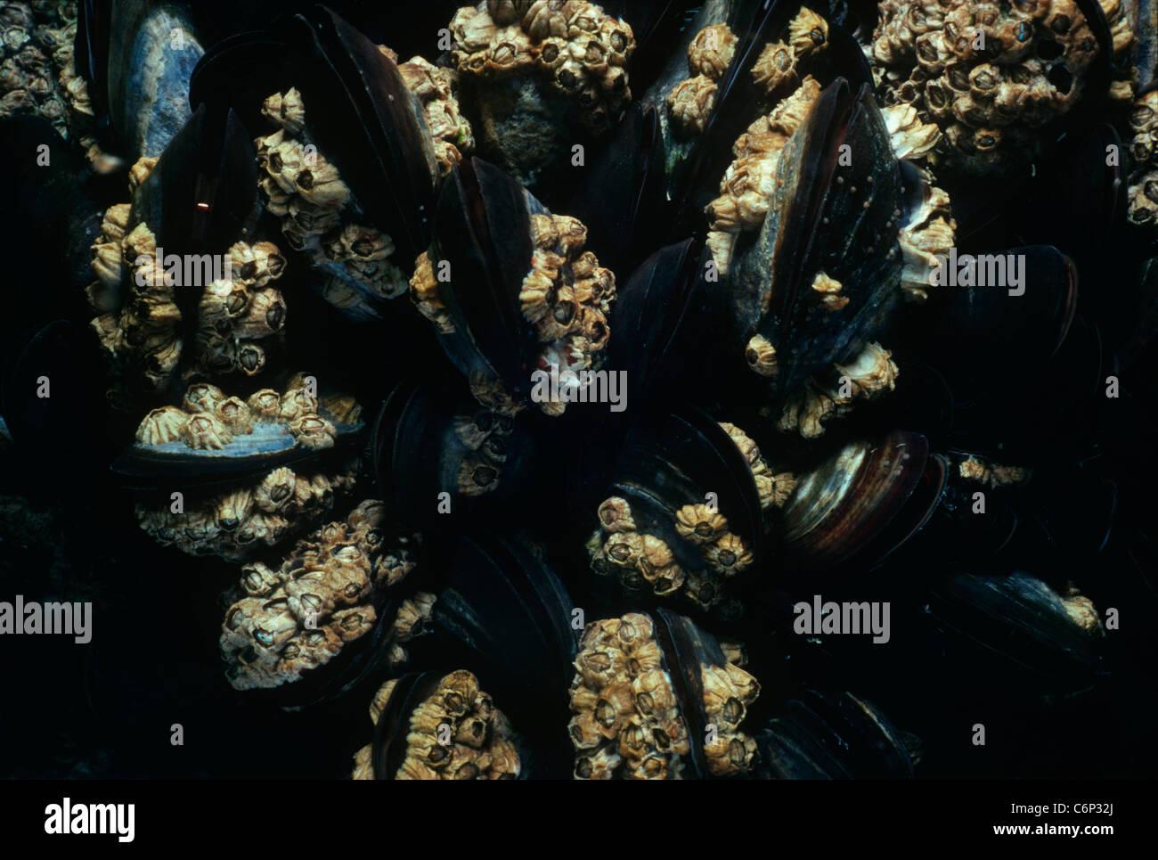 Percebes (Chthamalus stellatus) conectados a mejillones (Mytilus edulis). Las islas Glénan, Bretaña, Francia, el Océano Atlántico. Foto de stock
