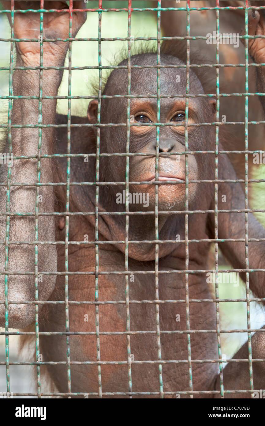 Orangután, detrás de una jaula del zoo. Imagen De Stock