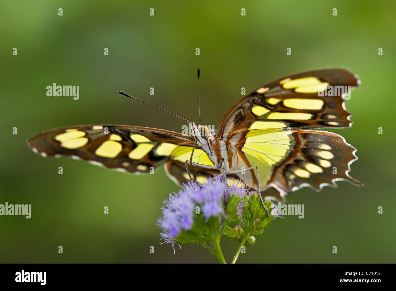 Una Malaquita alimentación mariposas Foto de stock