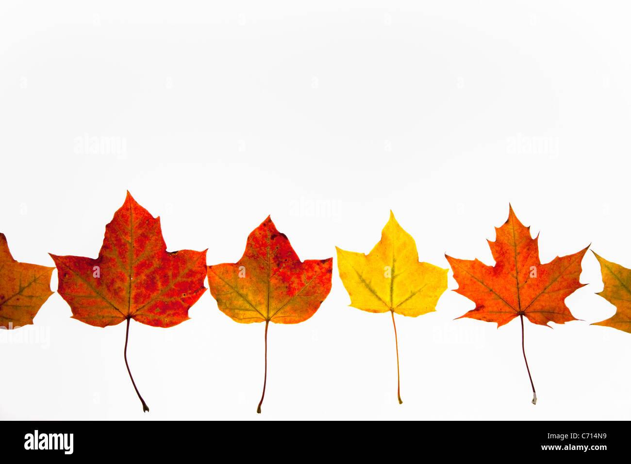 Presentaron hojas de arce en otoño, Acer campestre, el Parque Nacional de Northumberland, Reino Unido Foto de stock