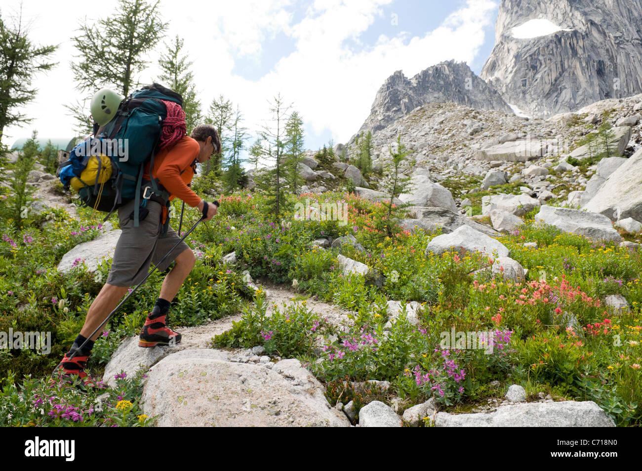 El hombre la caminata por senderos floridos, Parque Provincial Bugaboo, Radium, British Columbia, Canadá. Imagen De Stock