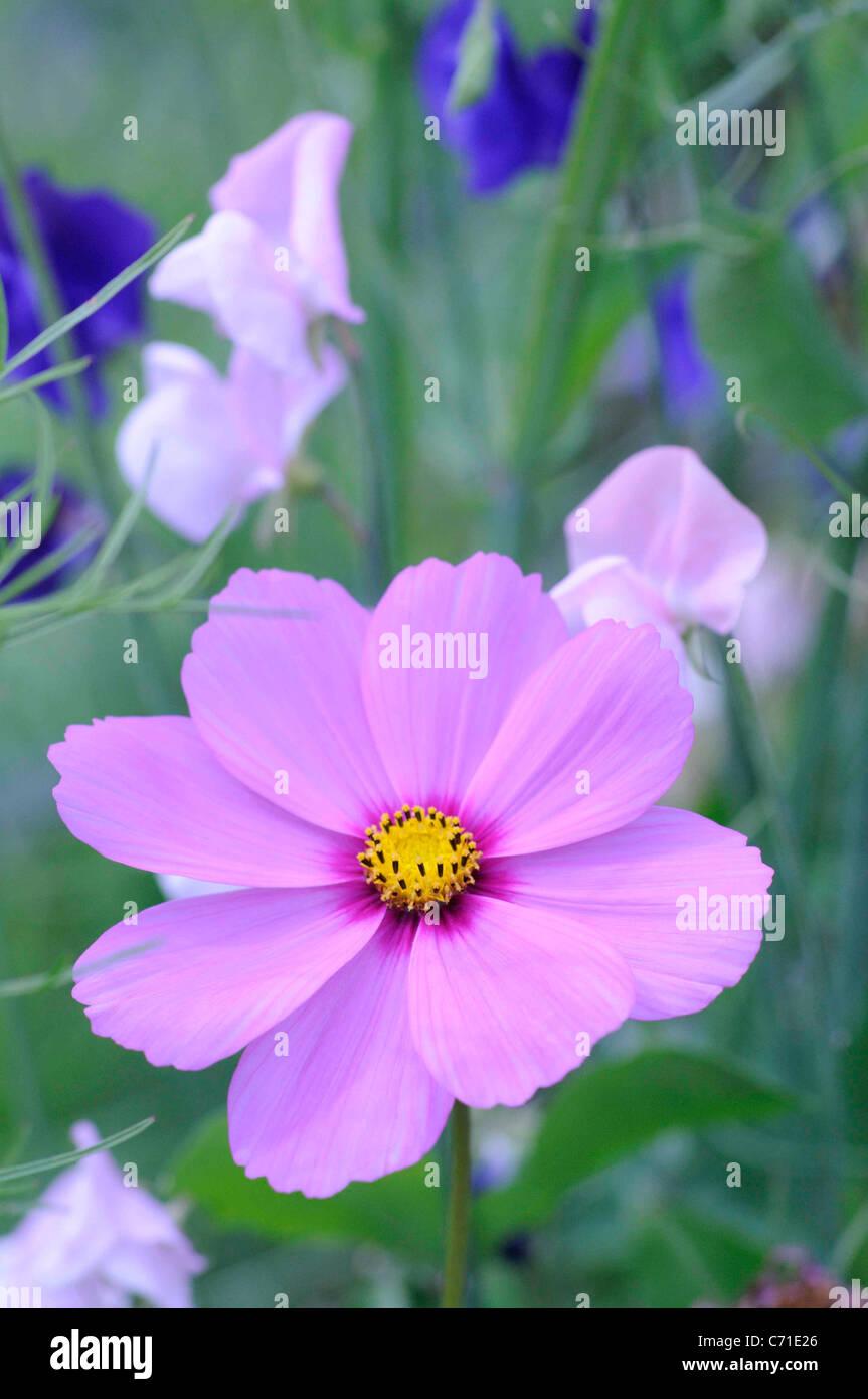 Cosmos bipinnatus Cosmos rosa flor entre sweet pea flores. Imagen De Stock