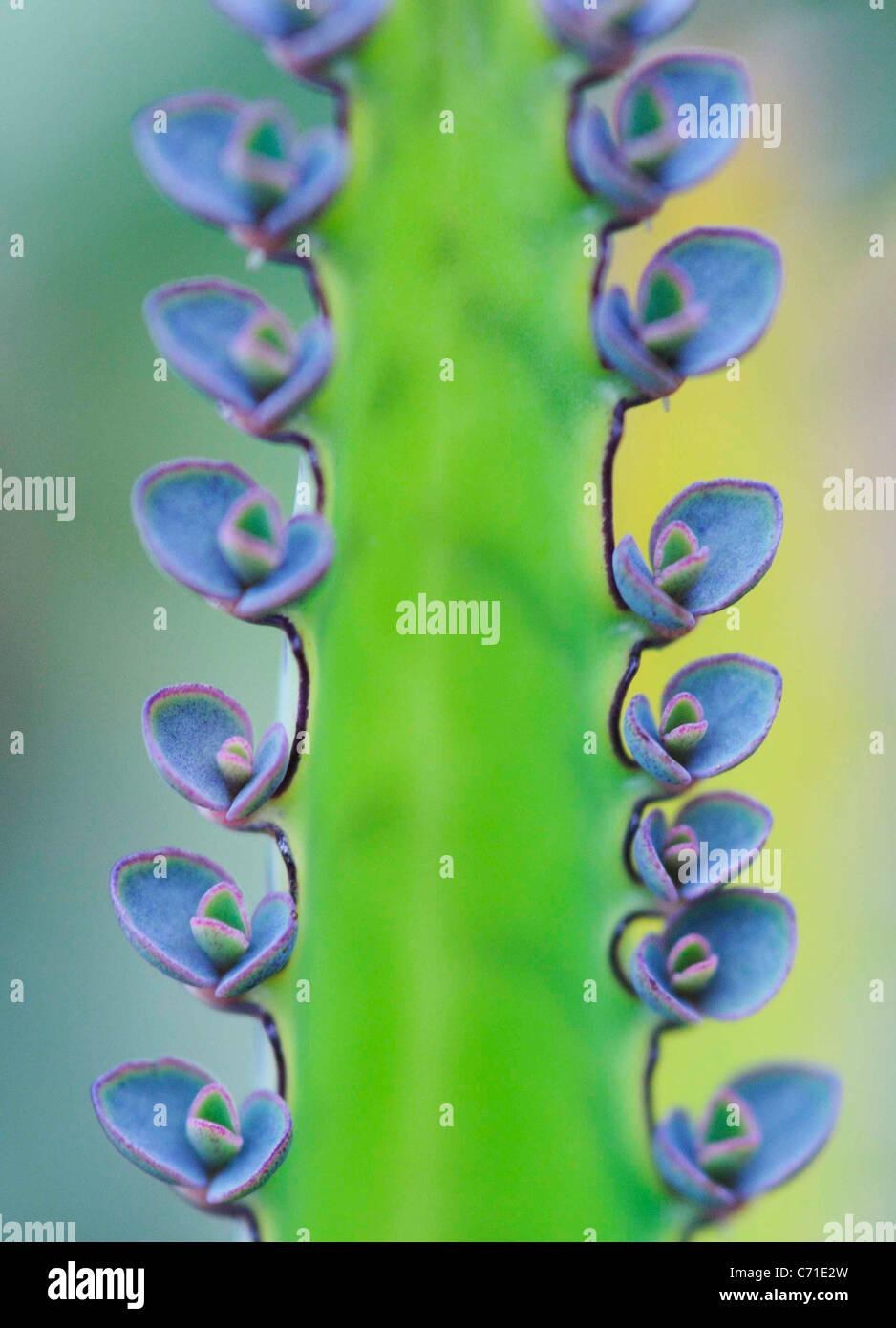 Kalanchoe Azul floración de plantas suculentas. Imagen De Stock