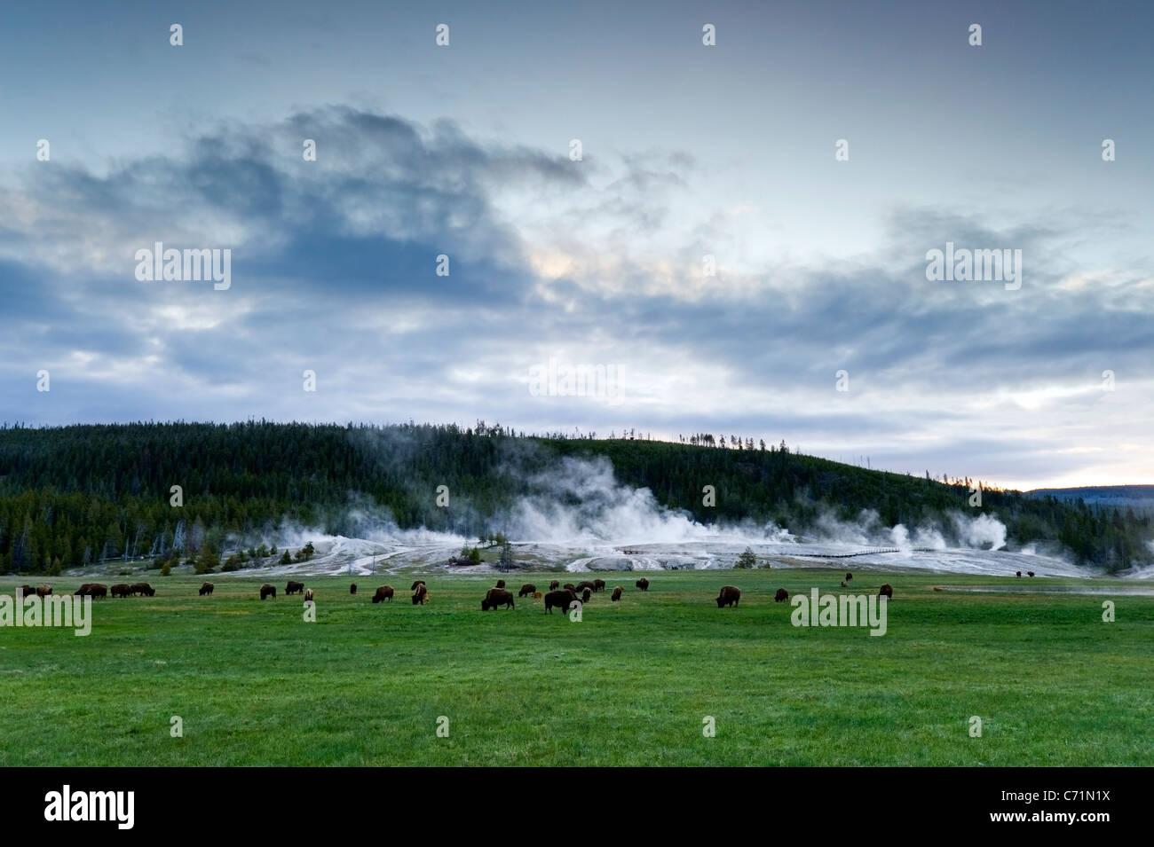 Una manada de búfalos pastan en frente de la Cuenca del Géiser Superior, en el Parque Nacional Yellowstone, Imagen De Stock
