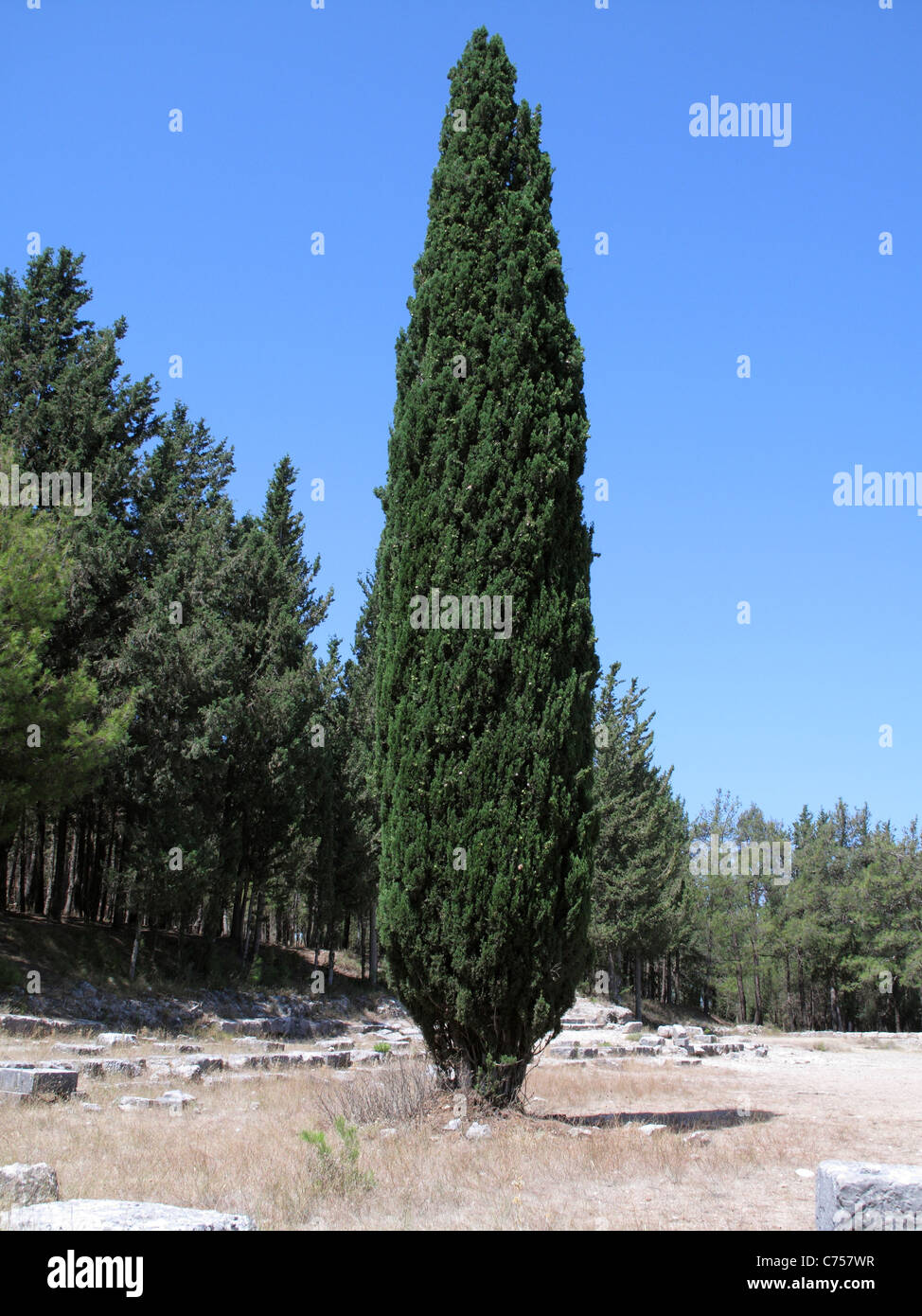 Mediterráneo o ciprés italiano (Cupressus sempervirens) Kos, Agosto Imagen De Stock