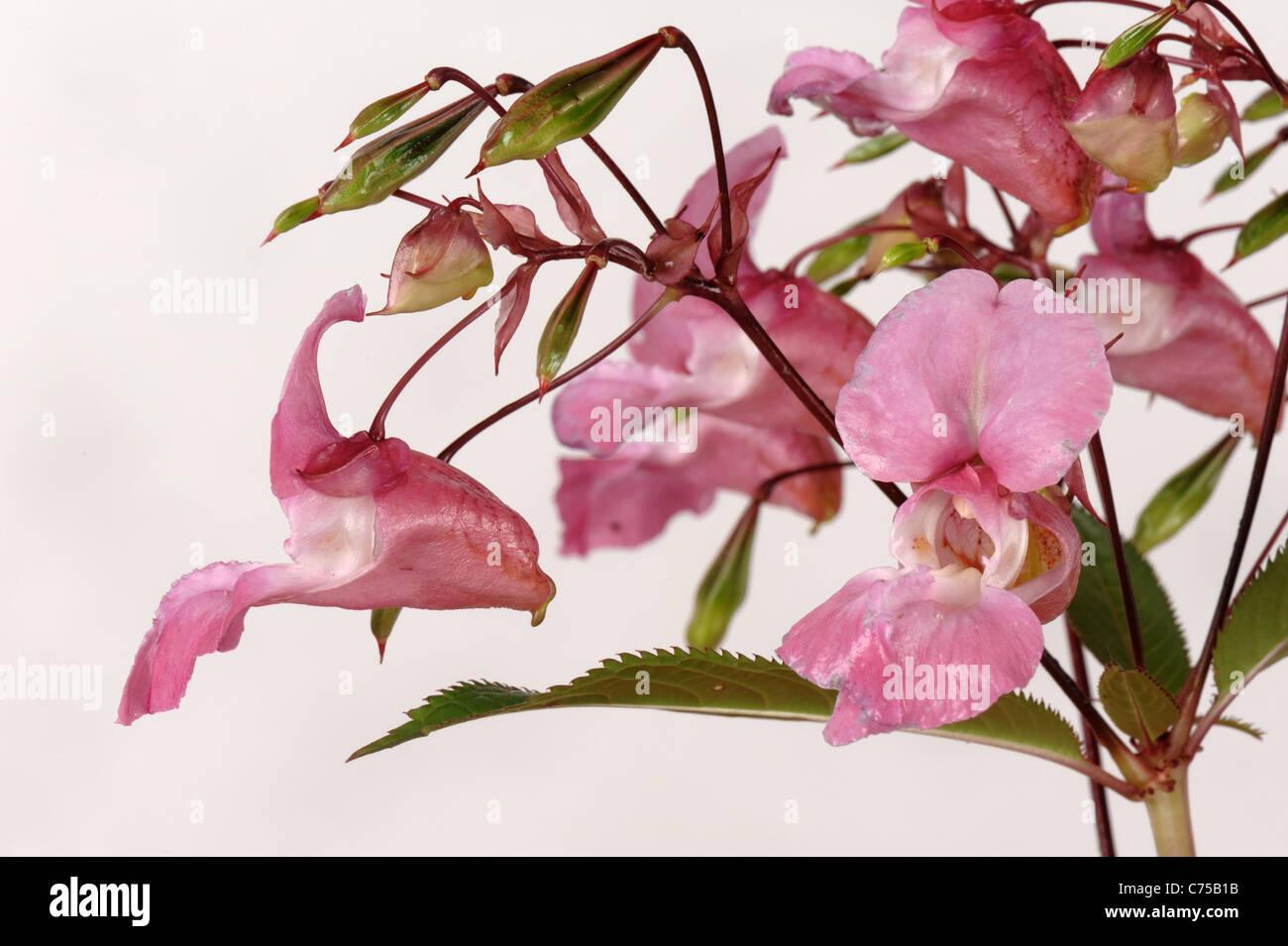 Bálsamo del Himalaya (Impatiens gladulifera) flores y vainas Foto de stock