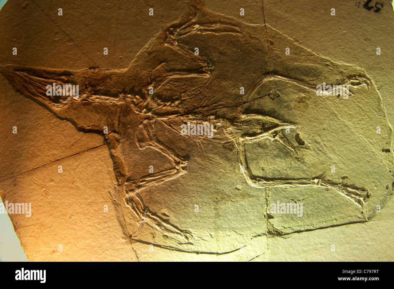Combustibles - Confuciusornis sanctus Hou et al. en el Museo Geológico de China. 2011 Foto de stock