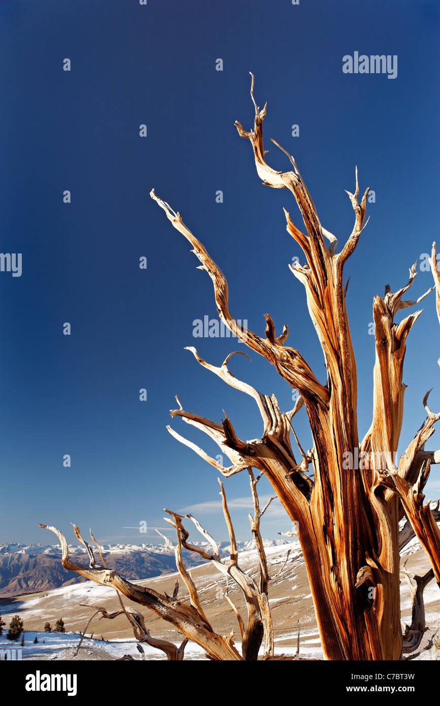 Pino Bristlecone, Inyo National Forest, White Mountains, California, EE.UU. Foto de stock