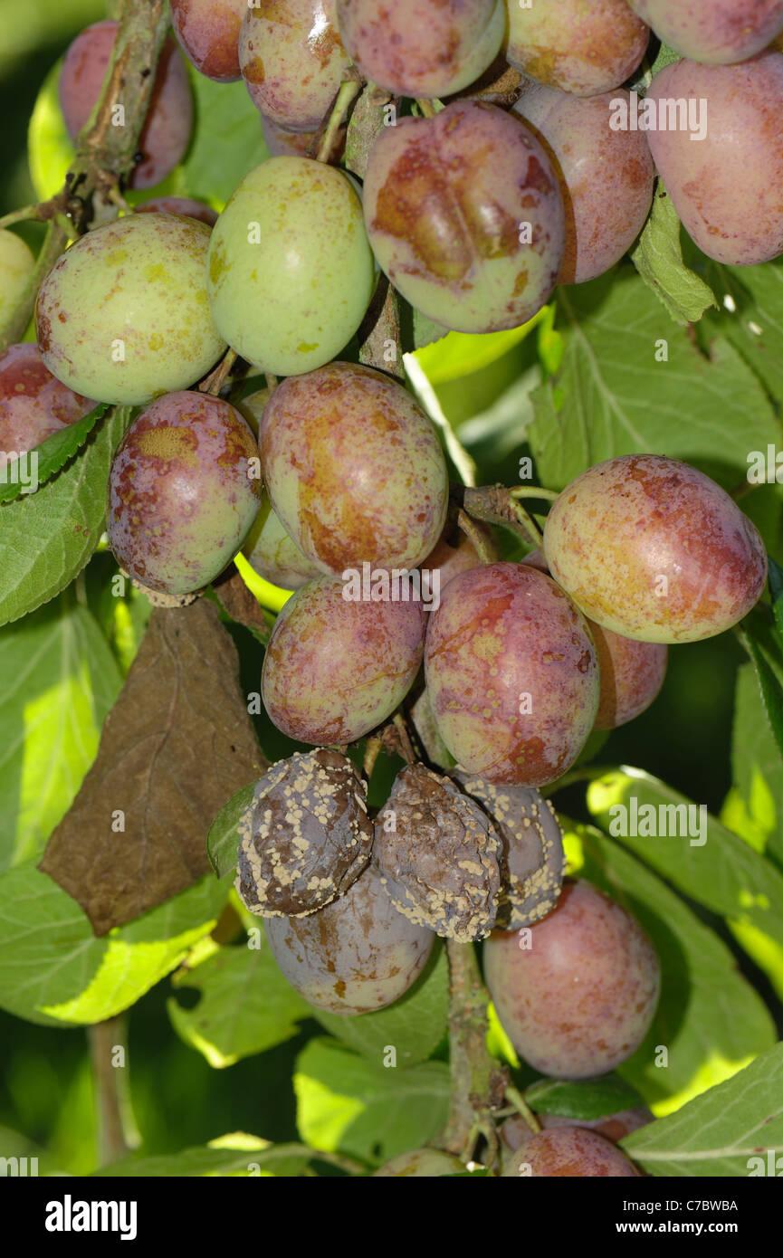La podredumbre parda (Sclerotinia fructigena) fruit rot y crecimiento de micelio Imagen De Stock