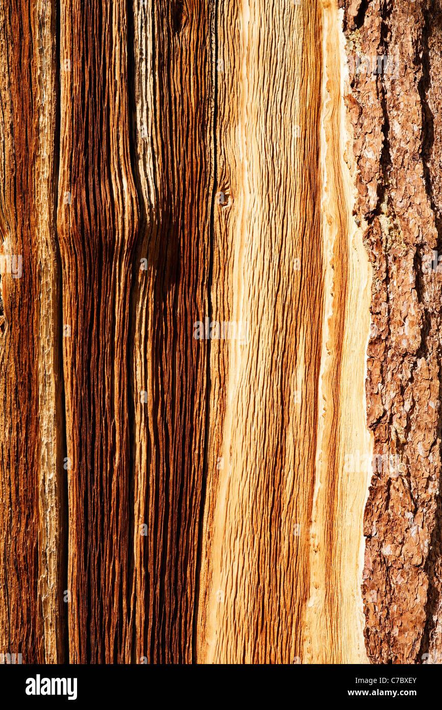 Detalle de la corteza de pino bristlecone, Inyo National Forest, White Mountains, California, EE.UU. Foto de stock