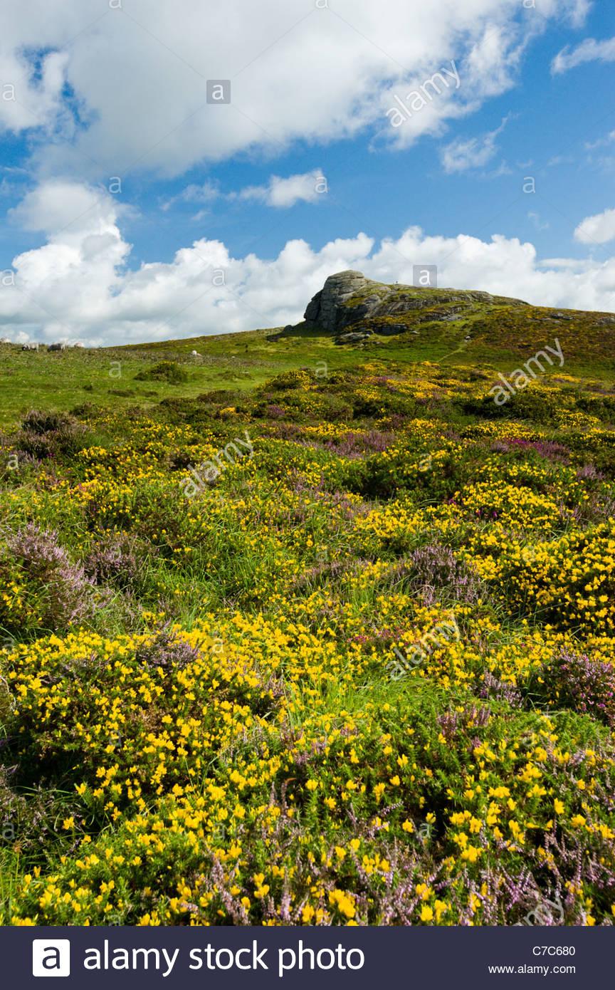 Brezo y retamas debajo Haytor rocas, Parque Nacional de Dartmoor, Devon, Inglaterra Imagen De Stock
