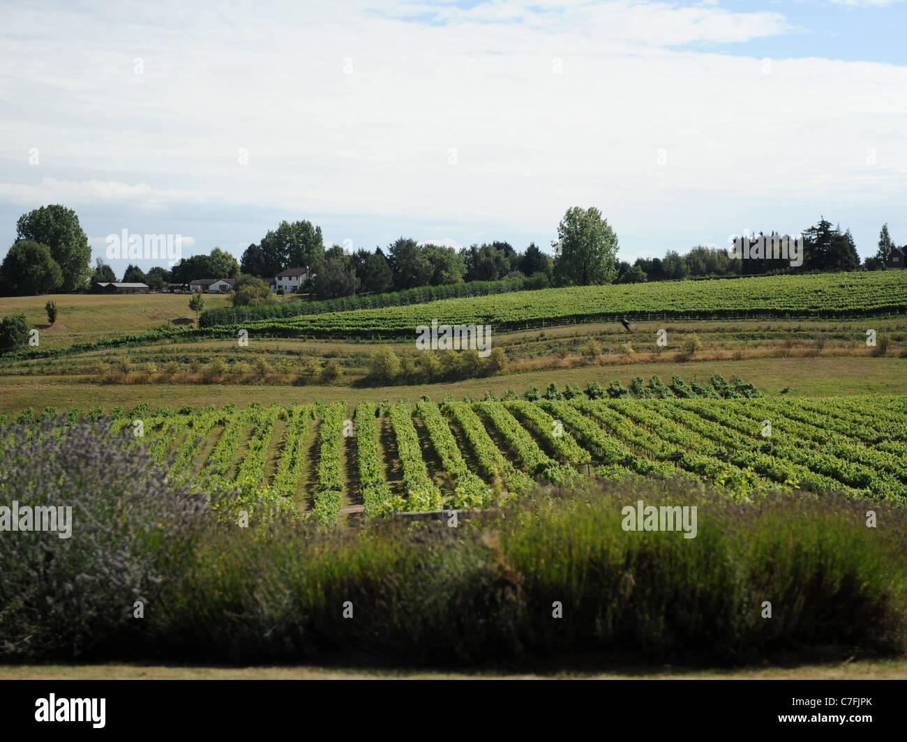 La vista de un viñedo británico, los tres coros cerca Newent. Foto de stock