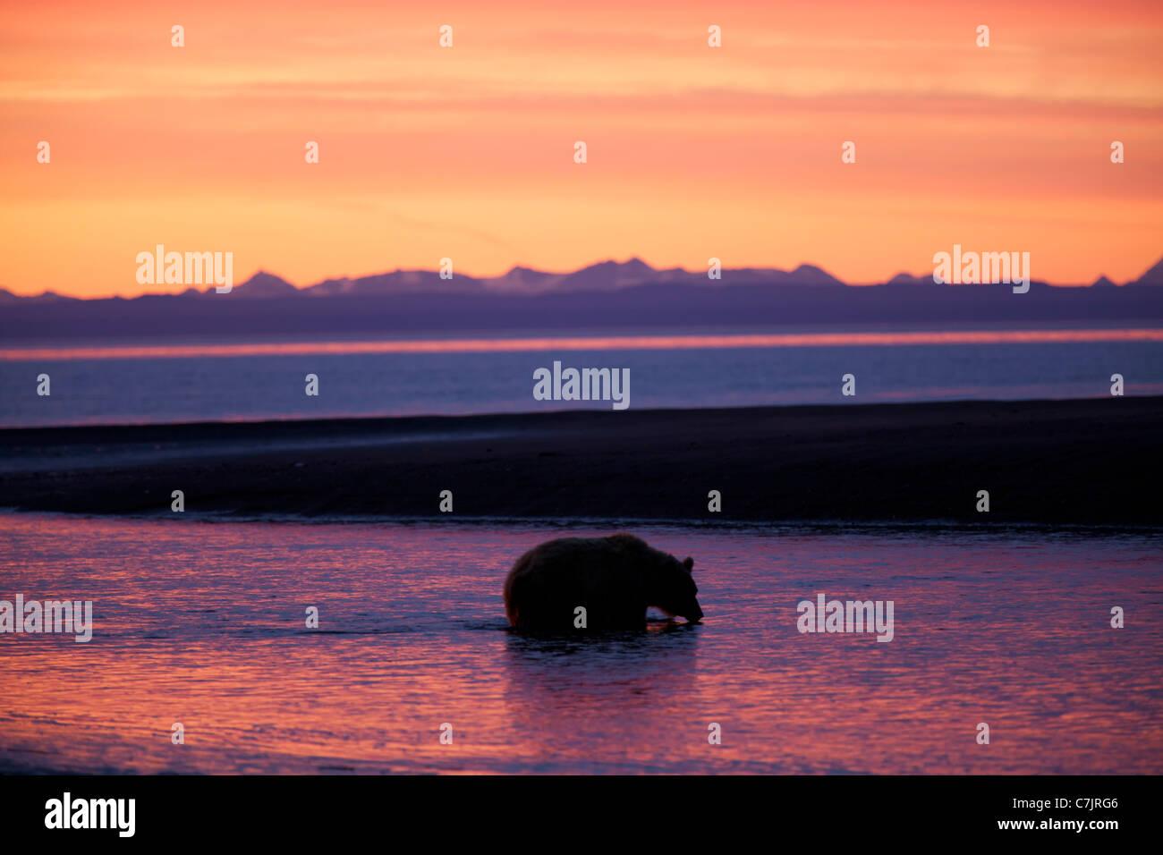 Marrón / Grizzly Bear, Lake Clark National Park, Alaska. Foto de stock