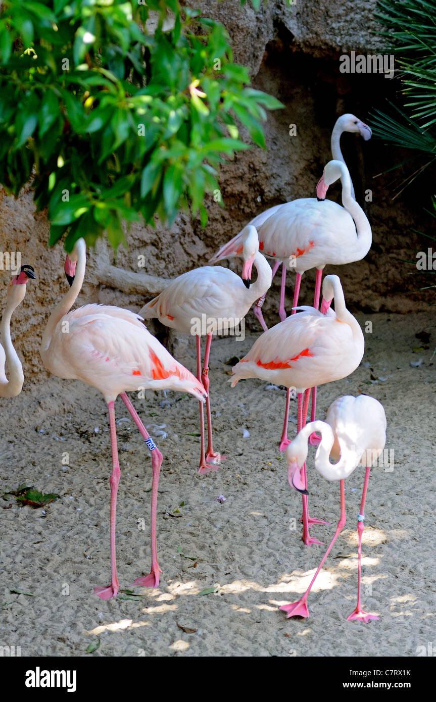 9e7634bc4 Mayor flamencos (Phoenicopterus roseus), el Zoo de Fuengirola ...