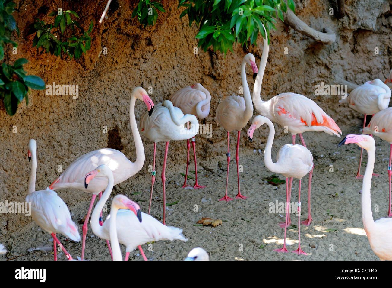 4a093c1c1 Mayor flamencos, el Zoo de Fuengirola (Bioparc), Fuengirola, Costa ...