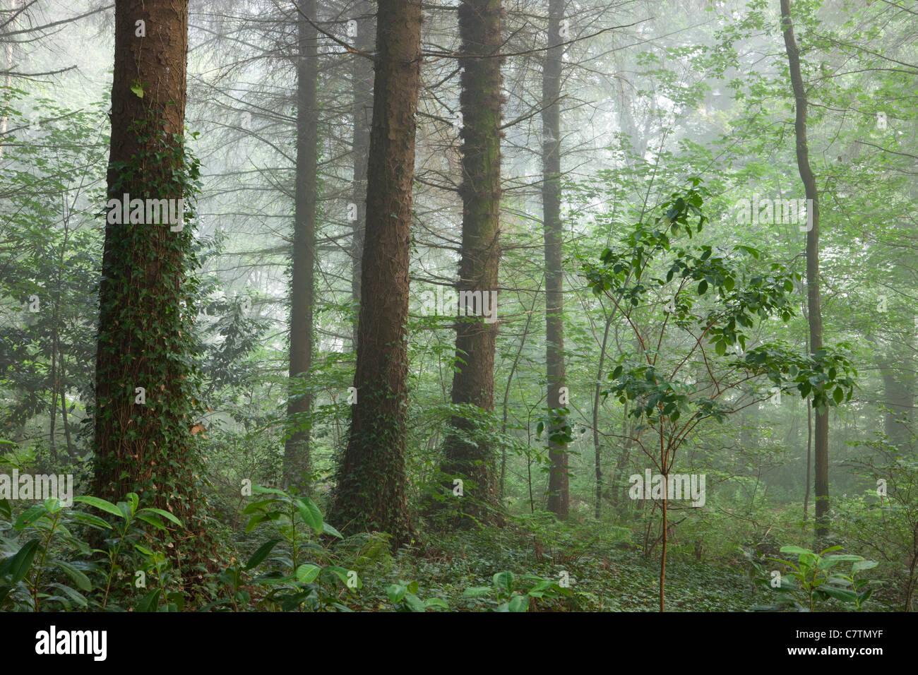 Misty mañana de verano dentro de un bosque, Madera de Morchard británico, Devon, Inglaterra. Verano (julio Imagen De Stock