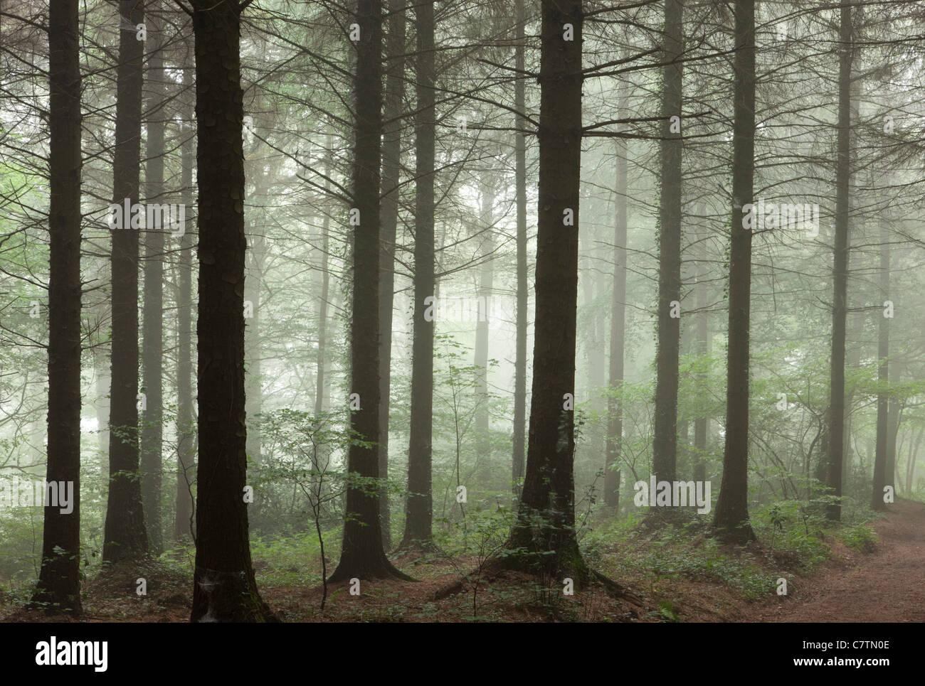 Niebla de la mañana en una madera de pino, Madera de Morchard, Devon, Inglaterra. Verano (julio de 2011). Imagen De Stock