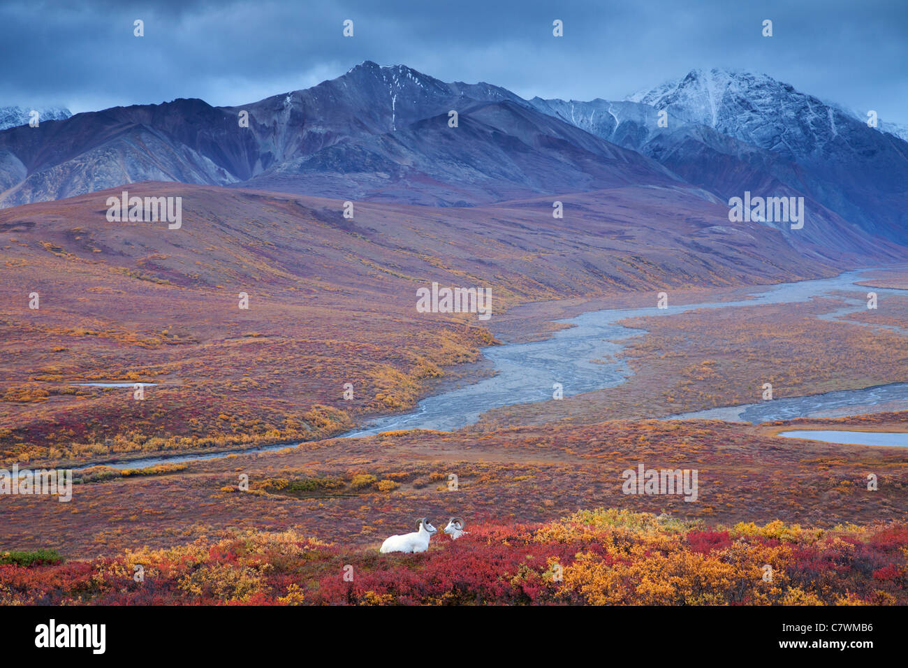 Ovejas de Dall en policromía Pass, el Parque Nacional Denali, Alaska. Imagen De Stock