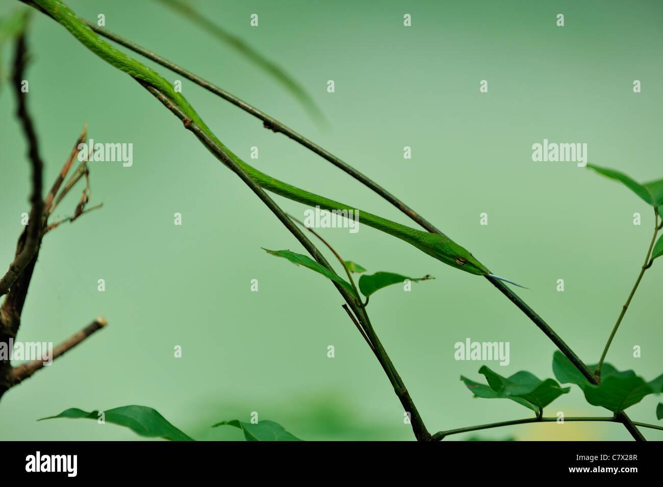 Ahaetulla prasina, comúnmente conocida como la vid de Asia Oriental o serpiente whipsnake, es un árbol generalizada serpiente encontrada en Asia Foto de stock