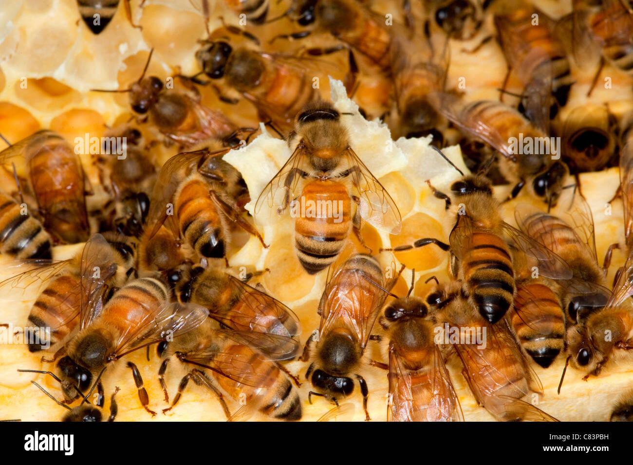 Una colonia de abejas de miel. Foto de stock