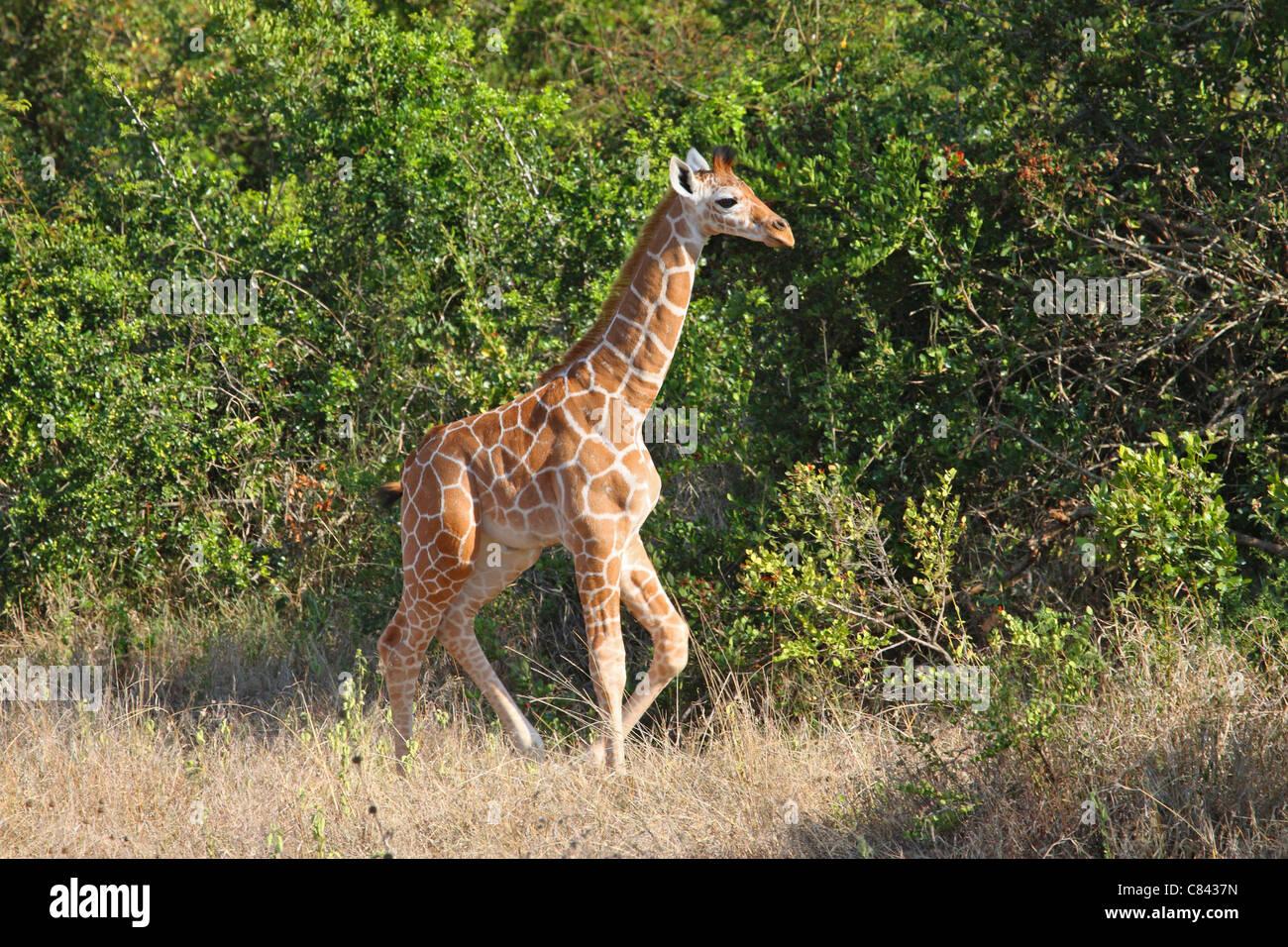 Jirafa reticulada - cub / Giraffa camelopardalis reticulata Foto de stock