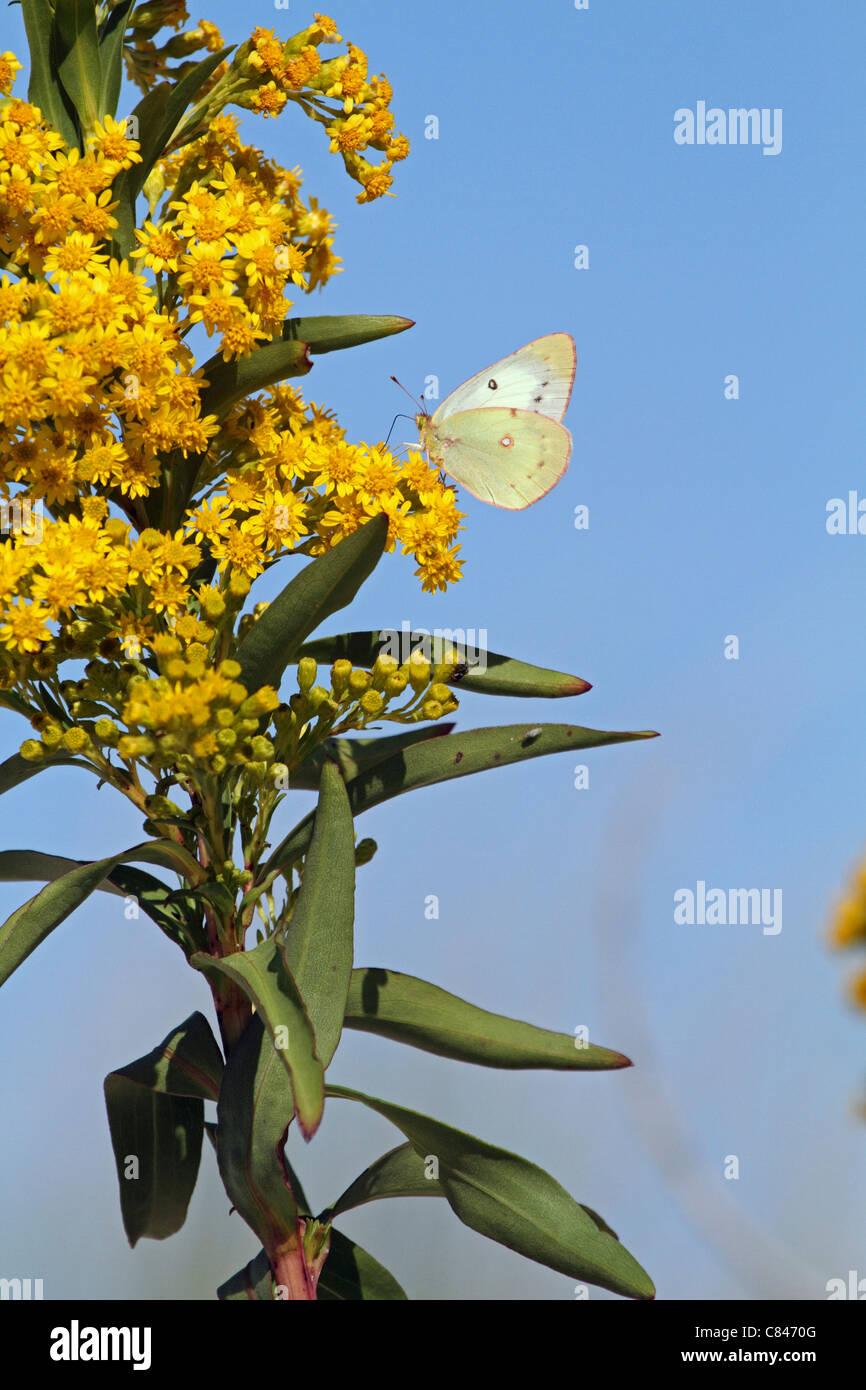 Una naranja de azufre, Colias eurytheme mariposa con las alas plegadas, alimentándose de Seaside Goldenrod, Solidago sempervirens. NJ, EE.UU. Foto de stock