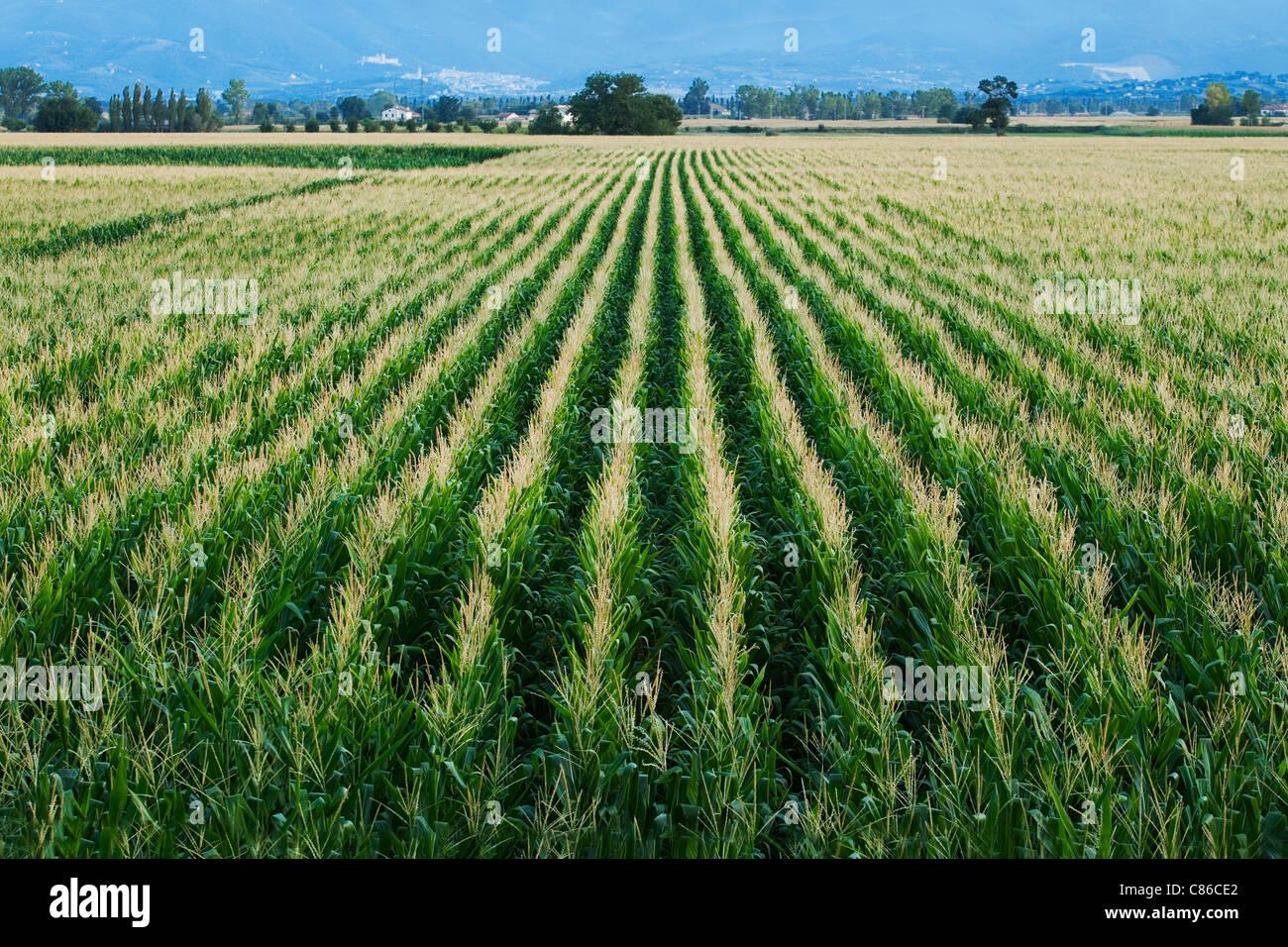 Maíz / campo de maíz - Toscana - Italia Imagen De Stock