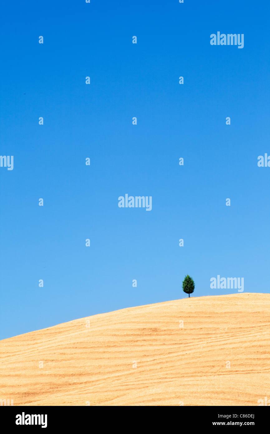Toscana - único árbol en la ladera cerca de Pienza Imagen De Stock