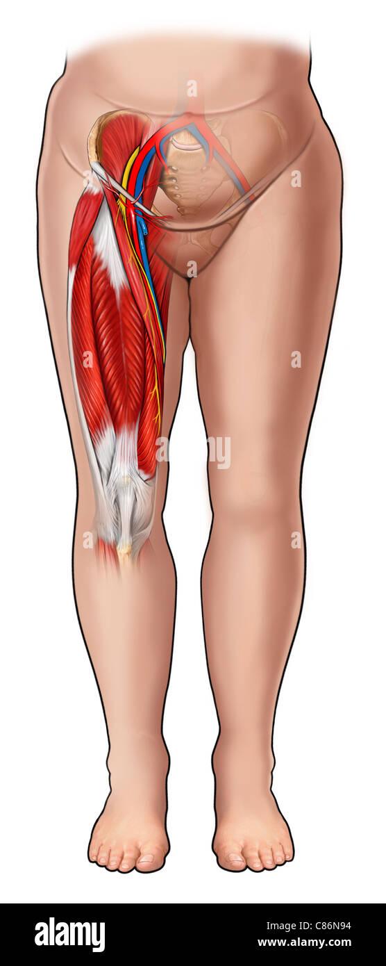 Anatomía de la ingle (ganglios inguinales Foto & Imagen De Stock ...