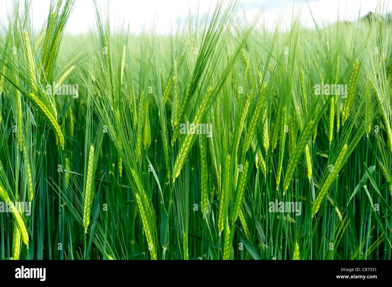Campo de cebada (Hordeum sp) en primavera. Imagen De Stock
