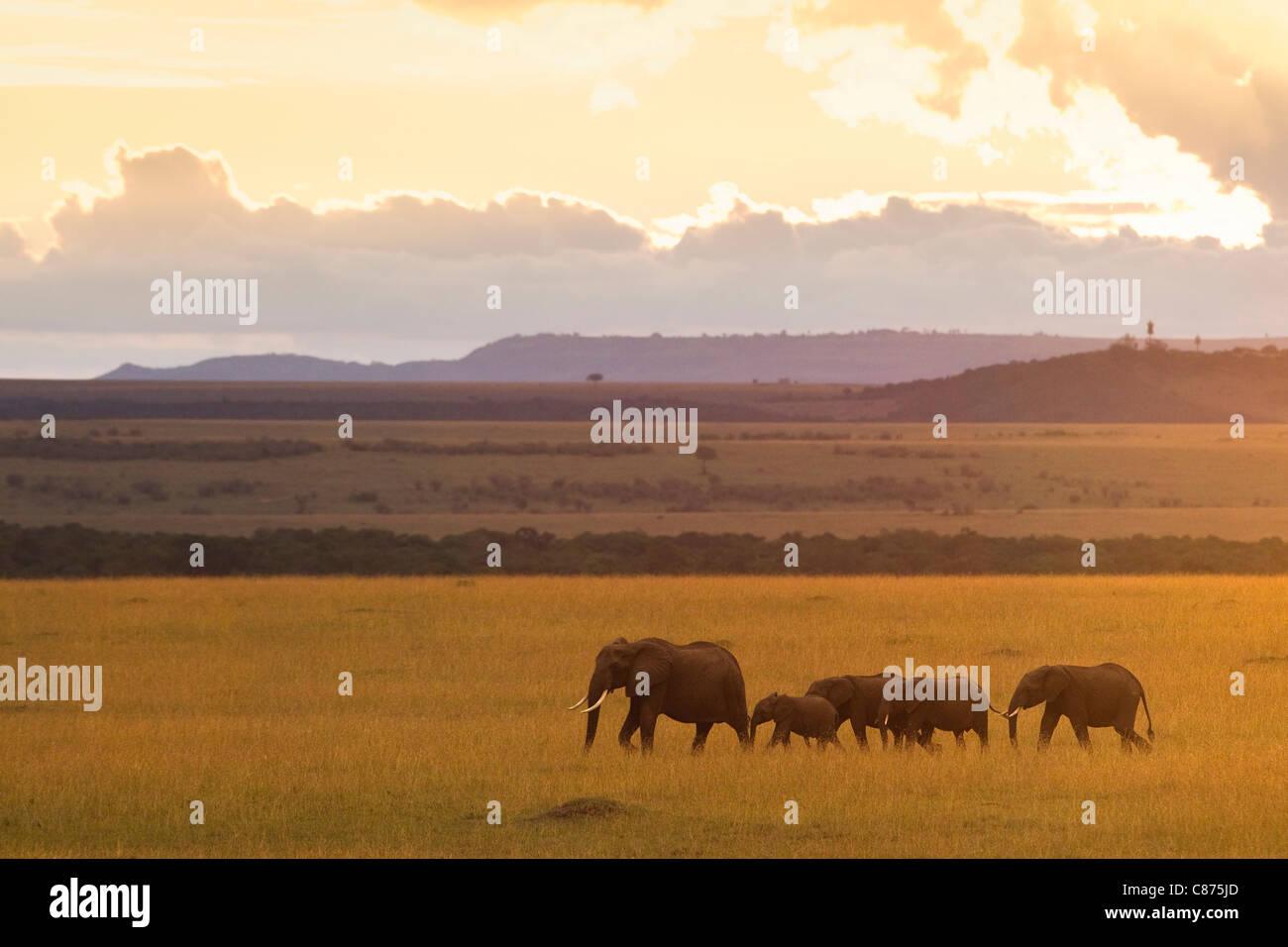 Bush africano elefantes, Reserva Nacional de Masai Mara, Kenya Foto de stock