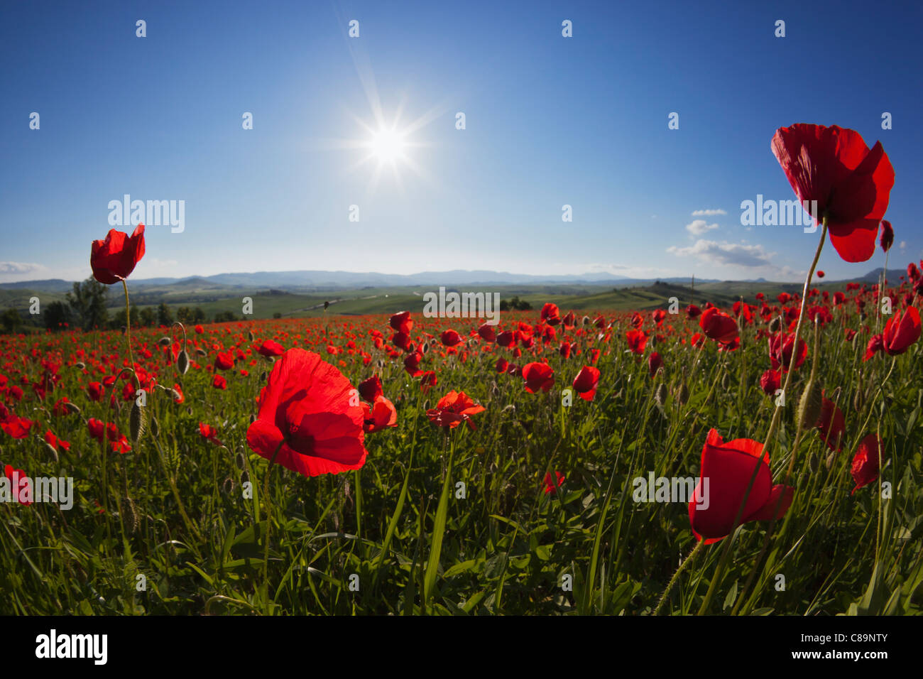 Italia, Toscana, Creta, Vista de campo de amapolas rojas al amanecer. Foto de stock